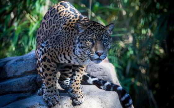 jaguar, кот, дикая Фон № 107747 разрешение 1920x1200