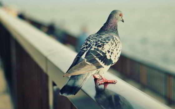 голубь, птицы, дек