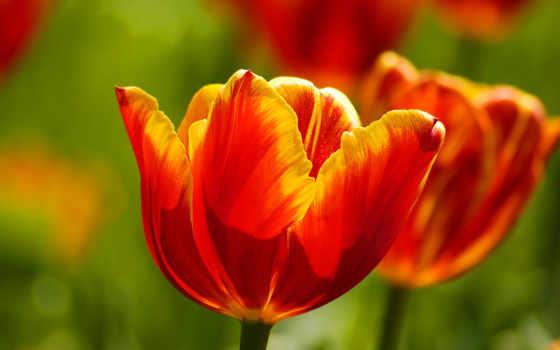 ecran, fonds, tulipes