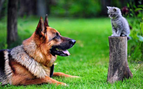 немецкая, овчарка, собаки, котенок, собака, трава, картинка,