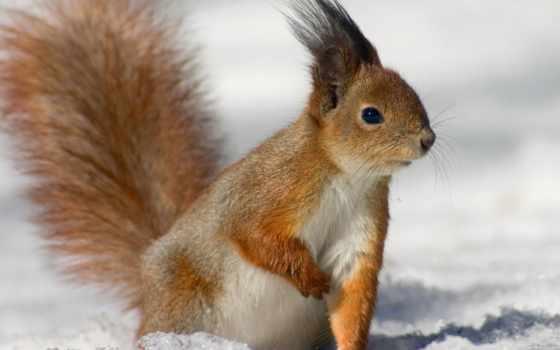 белки, белки, снегу, путешествиях, блог, походах, горпенюк, макsим, рыжая, foto, zhivotnye,
