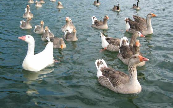 гуси, гусей, goose, воде, продам, птица, views, продолжительность, количество, asp, meat,