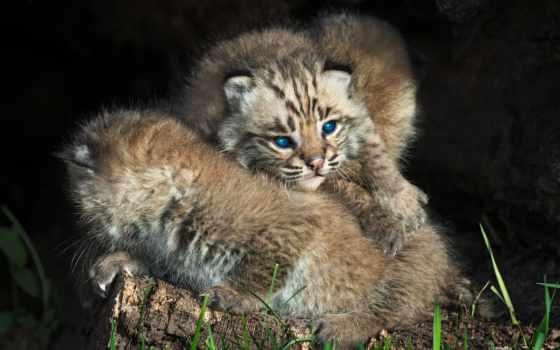 bobcat, котенок, молодой, high, качество, eyes, desktop,