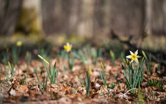 тюльпан, цветы, daffodil, выпечка, garden, yellow
