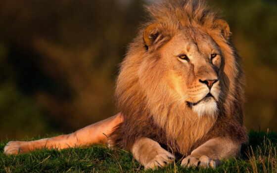 lion, грива, морда Фон № 56815 разрешение 2560x1440