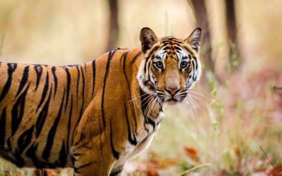 тигр, тигр, кошка