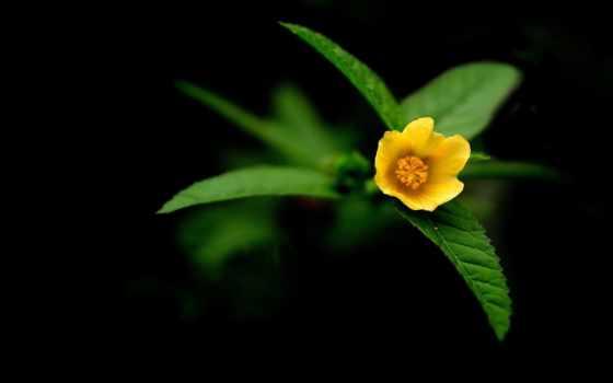 cvety, черном, fone, black, цветы, широкоформатные,