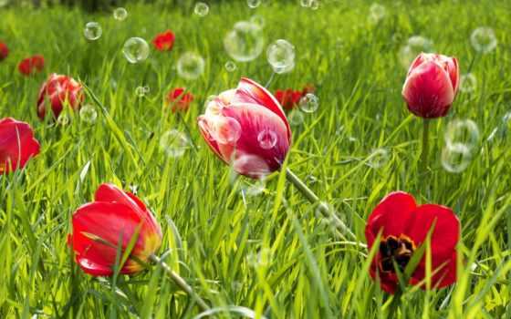 тюльпаны, cvety, red, цветочки, поле, природа,