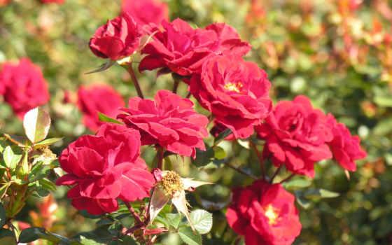 cvety, garden, роза, роз, риме, растения,