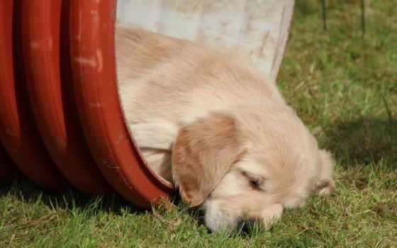 retriever, zhivotnye, золотистый, собака, ночи, спокойной, щенок, ночь, животных, природа,