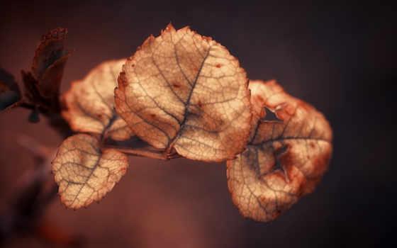 листья, dry, осень