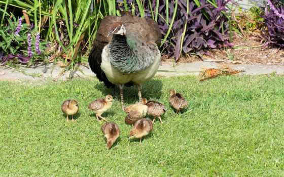 цыплята, трава, птицы, газон, zhivotnye, peacock, малыши, павлины,