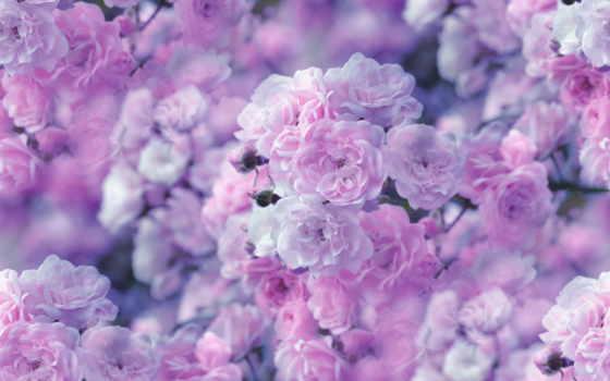 cvety, розы, природа, цветов, красивые,