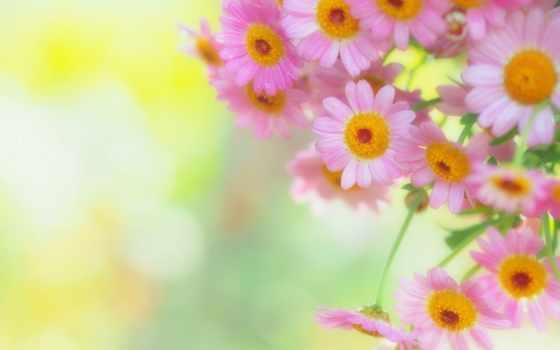 cvety, лепестки, ромашки, flowers, нежность, доброе, prezentacii, утро, фон, яаэль,