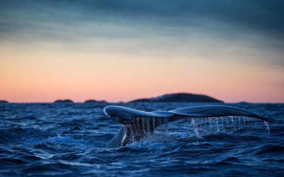кит, длиннорукий, water, humpback, zhivotnye, аляска, птица, кайра, ocean,