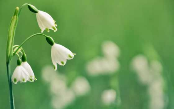 весна, подснежник, cvety, summer