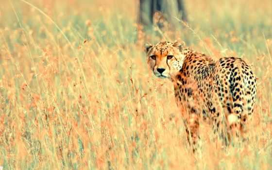 cheetah, животные