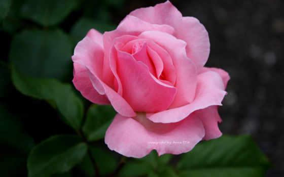блики, лепестки розы