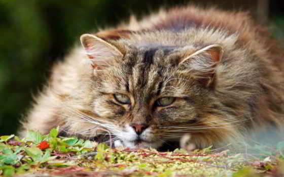 кот, пушистый, important, морда, смотреть,