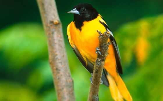 красивые, желтая, zhivotnye, множеством, птицы, цветов, птичка,