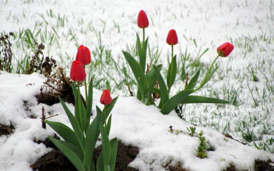 отражение, тюльпан, красные, листьями, tapety,