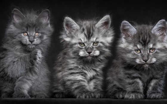 серые, котята, кошки, коты, пушистые, trinity, mein, куны, два, маленькие, милые,