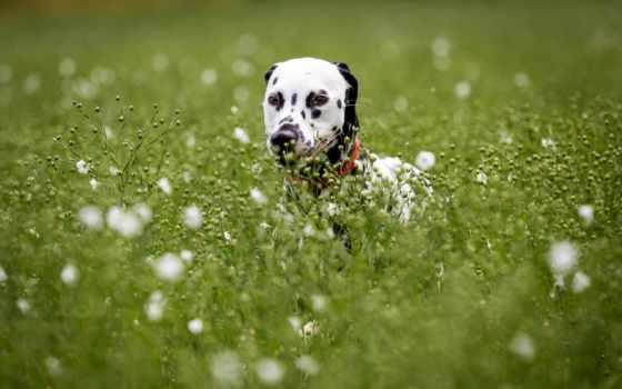 dalmatian, pilling, dom, photos, flickr, zhivotnye, собаки, позирование, щенки,