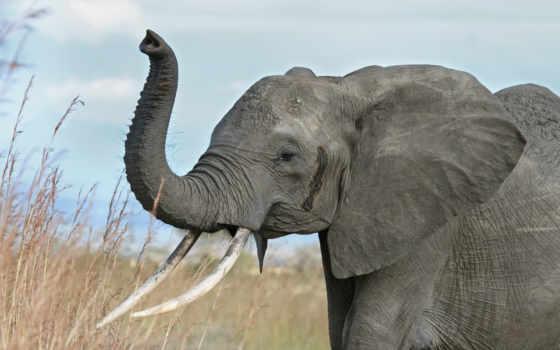 мире, слоны, слон, ствол, какого, тайланде, проекта, cad, слона, continuation,