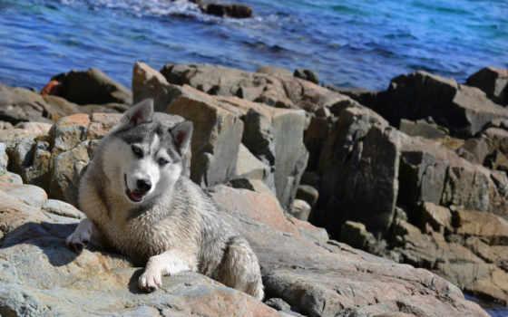 собака, хаски, море, собаки, красивые, rottweiler, сторожевая, московская,