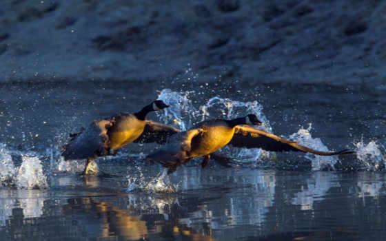 geese, water, off