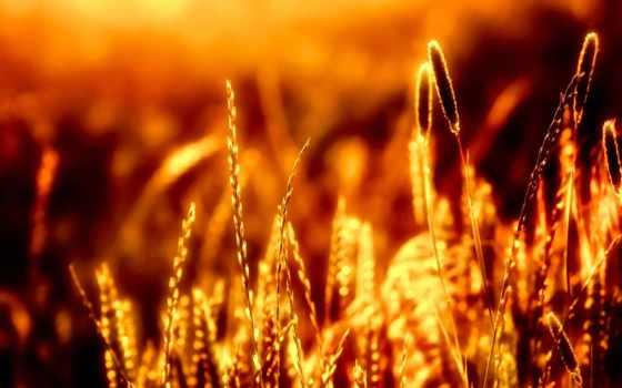 заказать, фотообои, колосья, пшеницы, стену, sun, купить, лучах, солнца, ukraine,