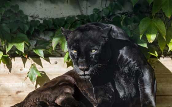 jaguar, black, кот