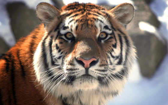 тигр, морда, тигра