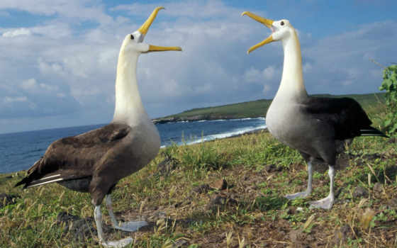 albatross, waved, albatros, los, туры, видов, las, tamaño, son,