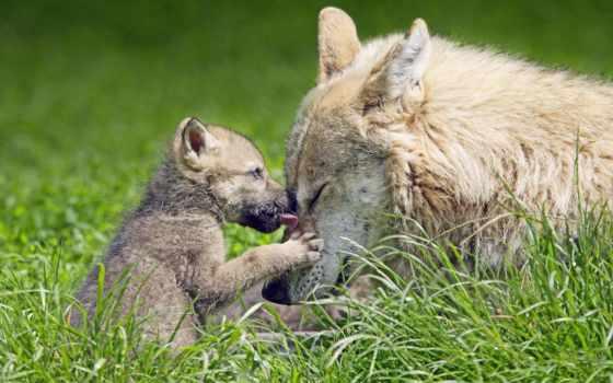 волчица, pup, волки