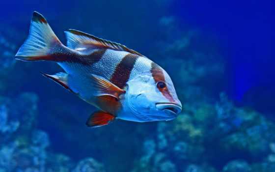 ,, рыба, , морская биология, синий, coral reef fish,  Помацентровые, плавник, аквариум,  pufferfish, тропическая рыба, pygocentrus cariba, algae eater, темно, гуппи