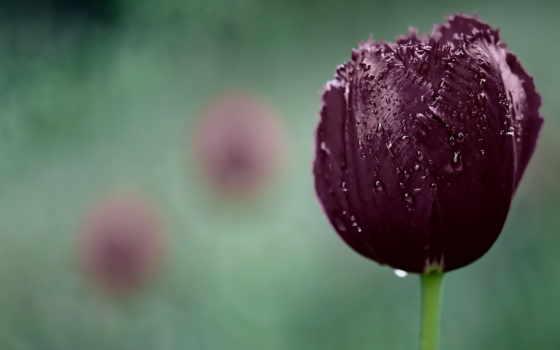 purple, тюльпан
