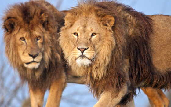 lion, грива, кот Фон № 56811 разрешение 2560x1440