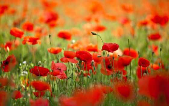 маки, цветы, весна