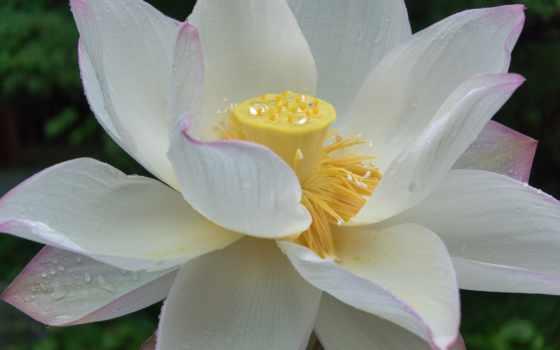 лепестки, цветы, белый, желтый, бусы,