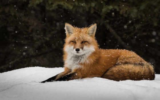 снег, фокс, хищник, морда, ложь,