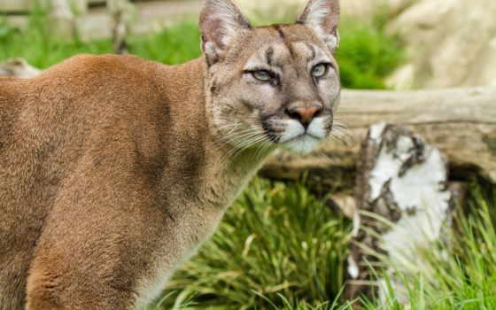 изображение, cats, pumas, cougar, кошки, кот, гора, puma,