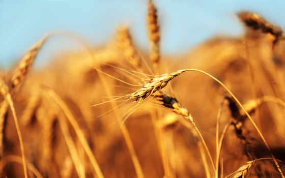 yel, пшеница, поле, çərşənbəsi, серьги, çərşənbə, cersenbesi, olsun,