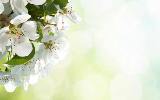 цветы, apple, макро
