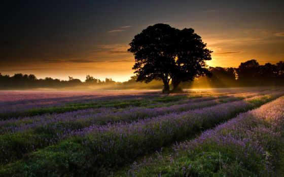 сол, puesta, campo, del, лаванда, flores, bazinga, sobre,