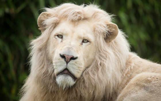 león, blanco, pantalla