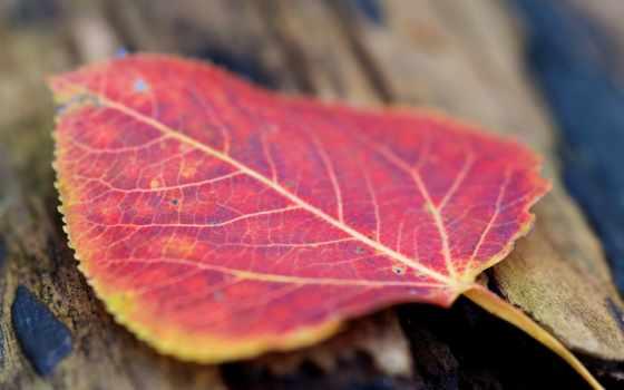 макро, desktop, осень, лист, red, goodfon, теме,