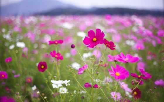cvety, малиновые, лепестки, размытость, макро, розовые, космея, поле, белые,