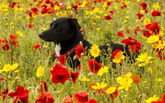 cvety, собака, маки, собаки, луга, цветами, луг, трава, zhivotnye, поле,