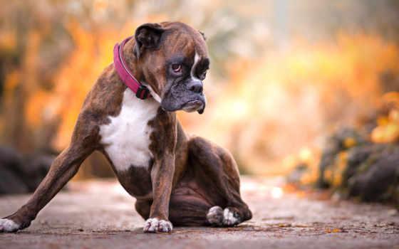 собака, boxer, порода, high, клубника, pet, portraits, she